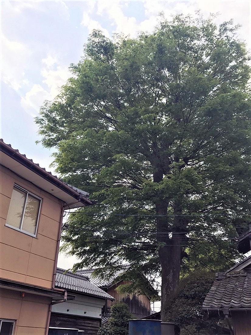 喜楽長の樹齢300年のケヤキ