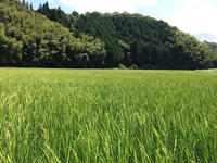 fusozuru_3_rice.jpg